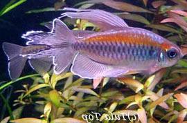 тетра фото рыбки